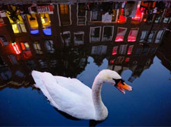 Swan swimming in the Amsterdam Red Light District